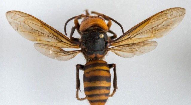 Murder hornet, courtesy Washington Department of Agriculture